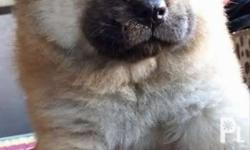 Chow chow proven pure