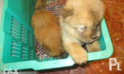 Pure Breed Chow Chow DOB= May 13, 2017 DOR= July 15,