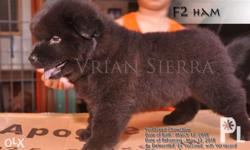 Pure Breed Chowchow Puppies for sale date of birth :