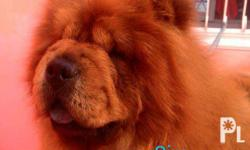 Chow chow puppies for sale DOB. Dec 18, 2015 20k