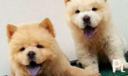 Quality Chow Chow Puppies Now Ready for Rehoming DOB: