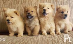 Chow chow puppies for sale Male / female Bear like