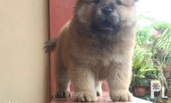 Chow chow Puppy RE PRICE 13000 to 12000 Male Big Bones