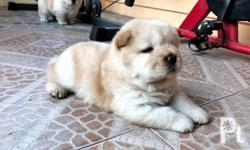 chow chow puppies for sale 2 female cream chow with