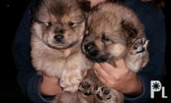 Pure breed 13500 each Male 1 available Female 1