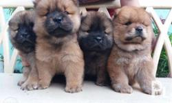 Chowchow puppies 2 female are sold already. 2 males are