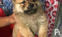 chowchow chow chow puppies female for sale 008 chowchow