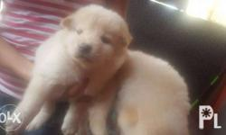 Chowchow puppy pure breed 2months old bear type23