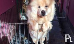 Cream Adult female chow chow 7 months old With paper