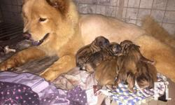 Pure chowchow puppies Open for reservation 3female