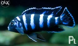 Selling Quality Cichlids Meycauayan Based. Frontosa 1 -