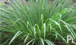 Citronella grass grows into tall, attractive tropical