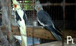 cockatiel for sale ready to breed rfs d na maasikaso