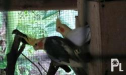 One couple of cockatiels