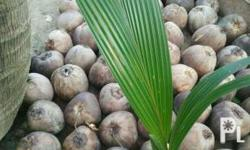 Good quality of Coconut Seedling