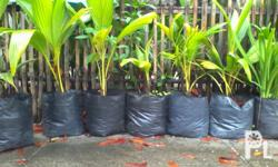 6-8 months old coconut seedlings, 3-4 feet tall and