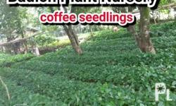 Available: coffee seedlings Prices: 4.00 pesos each