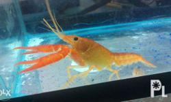 FRESHWATER Lobster also known ay crayfish or crawfish.