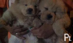 Cream and cinnamon chow chow puppies purebreed male and