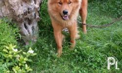 Male and Female Cross breed Chow Chow...