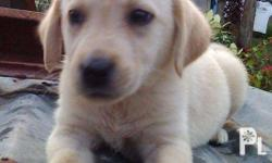 Pupppy for Sale Rush Cross Breed of Labrador and Golden