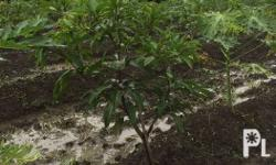 Exotic mango seedlings that bears fruits all year round