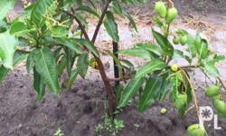 Cultured exotic mango that bears fruits all year round