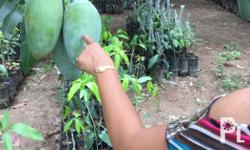 Culture mango seedlings that bears fruits 6 to 8 months