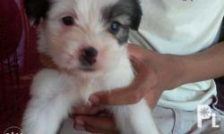 terrier puppies with leptos and parvovirus vaccine