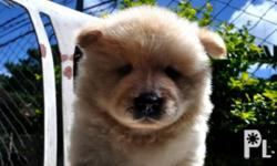 Purebred chowchow puppy! Male Dob: april 15, 2013