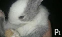 3 months old cute rabbit mixez color white and gray