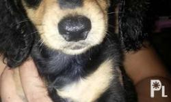 For Sale!!! Dachshund female 3mo.old + DOB: July 16,