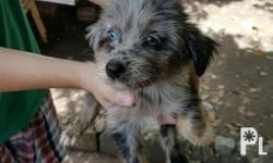 Dachshund xbreed terrier Dob apr 2 2018 Dam mini