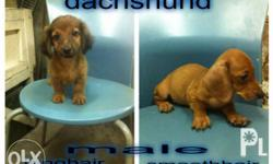 dachshund puppies dob may 5 2017 2 male w/1shot vaccine