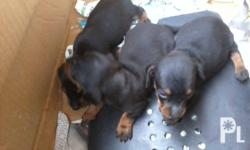 Pure dachshund puppy for sale in Tacurong, Isulan,