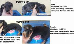 dachshund for sale in Central Visayas Classifieds & Buy and Sell in