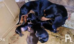 Purebreed dacshund puppies Open for reservation 4
