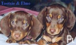 Dacshund Puppies Choco and Tan 1 month and 10 days Male