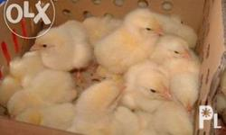 Day old quality broilers for sale for only 32/head.