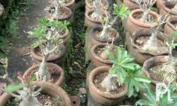 desert rose (Adenium obesum) is a striking plant with