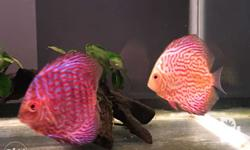 Discus fish (3.5 to 4 inches) Snake skin -P2k each Red