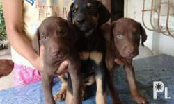 Doberman puppies Dob june 21 1 shot vaccine 2x