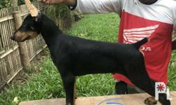 Quality Doberman Puppies Champ Line, Show Quality 3