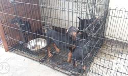 Doberman puppies for sale Male and female