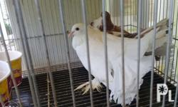 for sale fancy pigeon Funtail new breeder nag iitlog