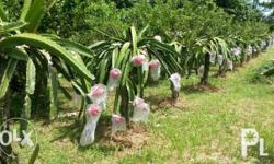 DRAGON FRUIT FOR SALE P70 PER KILO with the red-flesh
