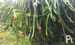dragon fruit cuttings for sale,(good quality of