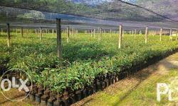Durian Seedlings starts at: - P35.00 each - 9 to 12