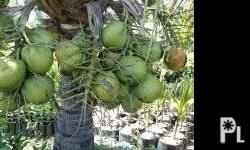Dwarf coconut seedlings, fruiting in 3-4 years from