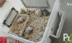 6 pcs Hamster ,male  Inclusive of cage and water